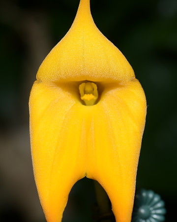 Flower - Orchid - Masdevallia Highland Monarch '#34' (Highland Fling x Monarch)