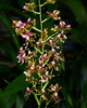 Flower - Orchid - Oncidium Pacific Sunrise 'Hakalau'