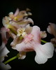 Flower - Orchid - Oncidium Rosy Sunset 'F'