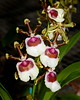 Flower - Orchid - Oncidium Ron's Rippling Delight 'A'