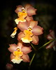 Flower - Orchid - Oncidium