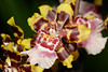 Flower - Orchid - Odontocidium Wildcat 'Green Valley'