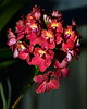 Flower - Orchid - Epidendrum Pacific Beauty
