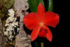 Flower - Orchid - Sophrolaeliocattleya Fire Lighter