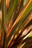 Sunlight illuminates the reeds a New Zealand flax (Phormium cookianum).