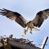 The mamma bird brings a fish to the babies.<br /> Osprey are great hunters but only eat fish.