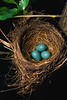 Robin Eggs in Nest ca. 2000