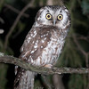 Boreal Owl © 2009 Nova Mackentley Whitefish Point, MI