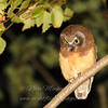Juvenile Saw-whet Owl © Nova Mackentley Whitefish Point, MI
