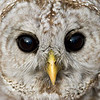 2008 barred owl face 1