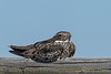 """Common Nighthawk on a Rail"""