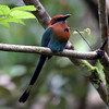 Motmot_Broadbilled