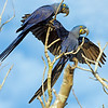 This photograph of a pair of Hyacinth Macaws was captured in the Pantanal area of Brazil (8/12).  This photograph is protected by the U.S. Copyright Laws and shall not to be downloaded or reproduced by any means without the formal written permission of Ken Conger Photography.