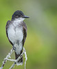 • Location - Bio Lab Road at the Merritt Island National Wildlife Refuge • Eastern Kingbird
