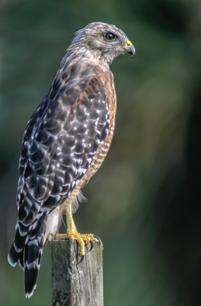 • Location - Moccasin Island Tact Road<br /> • Red-shouldered Hawk