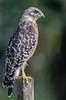 • Location - Moccasin Island Tact Road • Red-shouldered Hawk