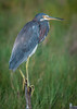 • Location - Bio Lab Road at the Merritt Island National Wildlife Refuge • Tri-colored Heron