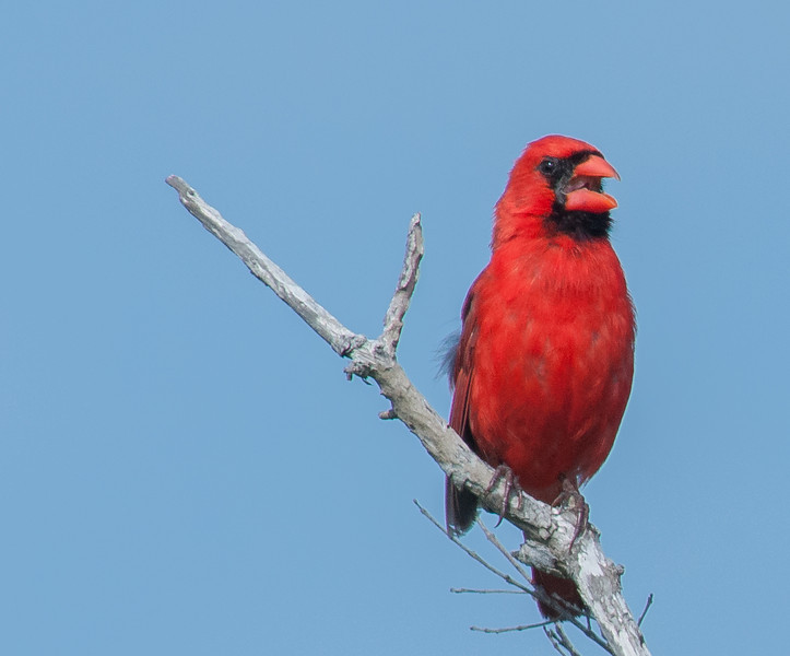 • Location - Bio Lab Road at the Merritt Island National Wildlife Refuge • Male Northern Cardinal