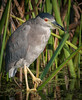 • Location - Viera Wetlands • Black-Crowned Night Heron