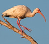 • Location - 50th Street in Wellington • White Ibis