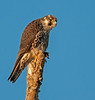 • Location - 50th Street in Wellington • Peregrine Falcon