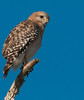 • Location - 50th Street in Wellington • Red-shouldered Hawk