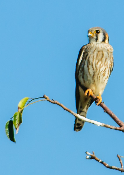 • Location - Wellington Environmental Reserve • American Kestrel