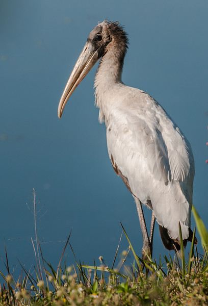 • Location - Wellington Environmental Reserve<br /> • Wood Stork