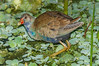 • Location - Green Cay Wetlands • Immature Purple Gallinule
