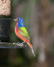 • Location - Green Cay Wetlands • Painted Bunting