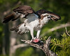 • Blue Cypress Lake<br /> • So Mr Osprey, what happened to the rest of the fish?