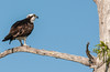 • Blue Cypress Lake • Mr Osprey has a good branch in which to view what's happening around him.