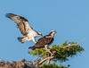 • Blue Cypress Lake • Mr Osprey is just coming in for a landing