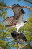 • Blue Cypress Lake • I guess it still must be Osprey mating season