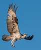 • Blue Cypress Lake • Mrs Osprey coming in for a landing