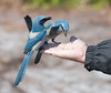 These Scrub Jays are not afraid of people.