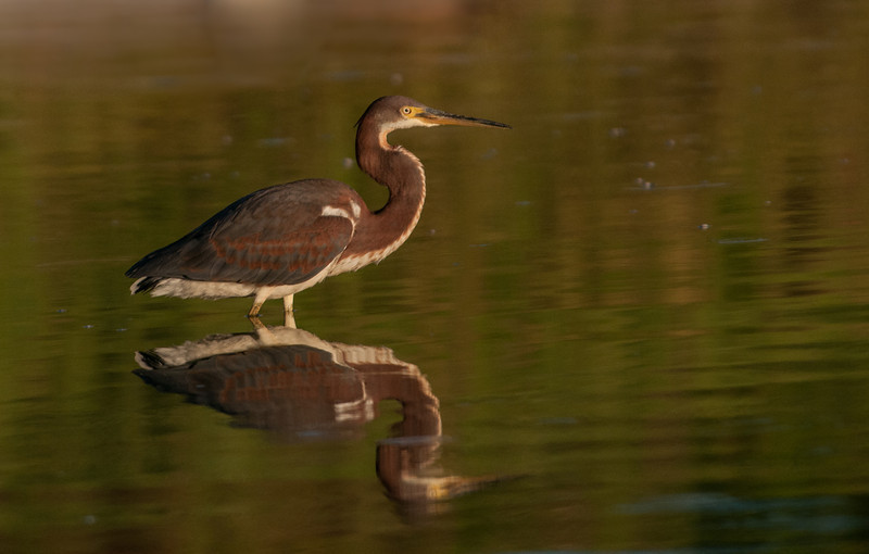 I included this photo because I like the lighting and reflection of the Tri-colored Heron