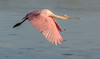 Roseate Spoonbill in flight with its neck stretch-out