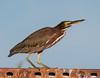 Green Heron on the lookout