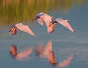 A trio of Roseate Spoonbills flying in unison.