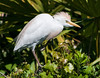 A Cattle Egret in deep though