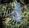 A Little Blue Heron ready for take off