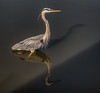 • Gatorland - Bird Rookery • Great Blue Heron with its reflection and shadow