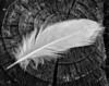 • Gatorland - Bird Rookery • B&W close-up photo of a feather