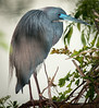 • Gatorland - Bird Rookery • Tri-colored Heron with its breeding colors