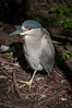 • Gatorland - Bird Rookery • Black-crowned Night-Heron portrait