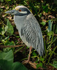• Gatorland - Bird Rookery • Yellow-crowned Night-Heron standing on one foot