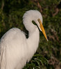 • Gatorland - Bird Rookery • The Great Egret posed nicely for this photo
