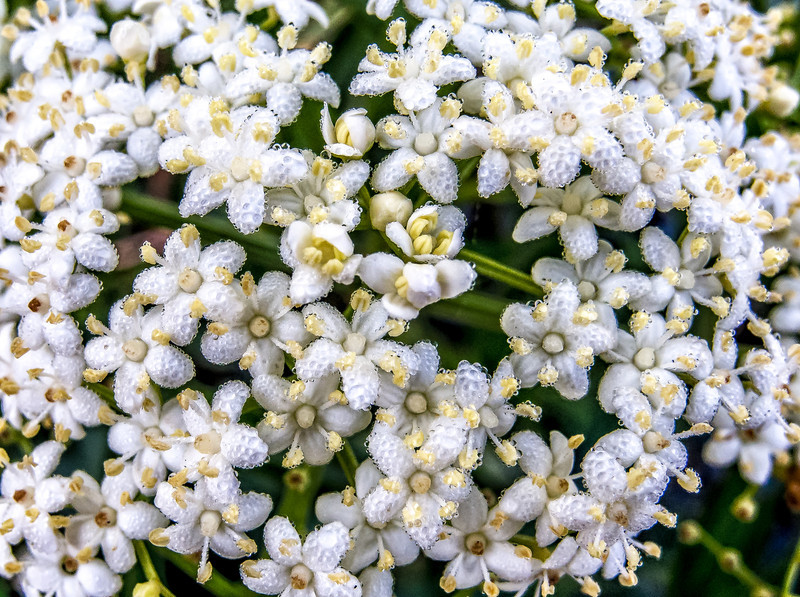 • Gatorland - Swamp Walk • Elderberry flowers with tiny water droplets