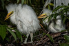 • Gatorland - Bird Rookery • How about those cute baby Snowy Egrets